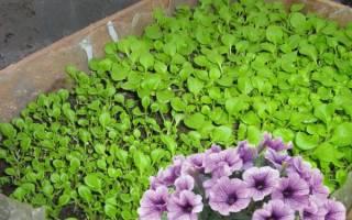 Что нужно учитывать выращивая рассаду петунии