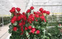 Сорта голландских роз с фото и названиями