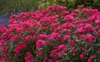 Шрабовая роза магнит посадка и уход