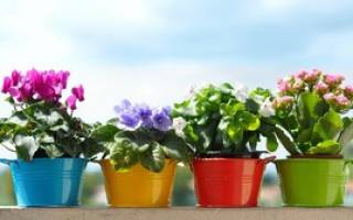 Цветущие цветы в горшках