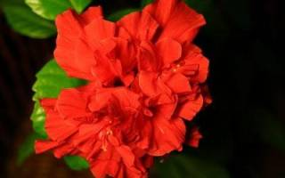 Почему у китайской розы скручиваются листья