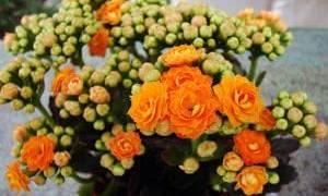 Красно желтые цветы глориоза каланхоэ лахеналия лядвенец