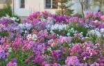Очаровательные мелкоцветковые флоксы