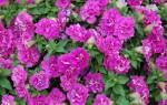 Выращивание петунии Сурфиния уход и размножение