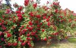 Плюсы выращивания китайских роз