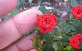 Что представляют собой миниатюрные розы