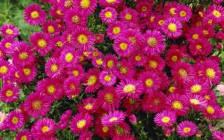 Астра альпийская выращивание рассады и уход за цветком