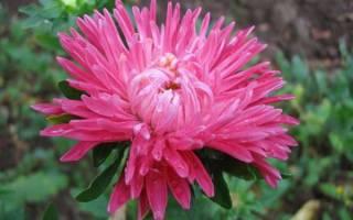 Астра посадка и уход за цветами в саду