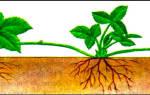 Какое растение размножается с помощью луковицы