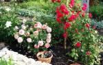 Посадка роз в сибири весной