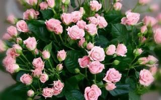 Характеристики сортов маленьких роз