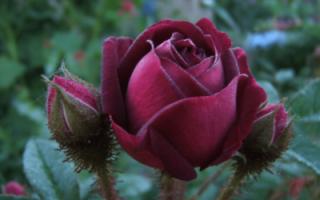 Роза в вазе фото