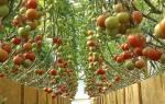 Как правильно вырастить помидоры в теплице