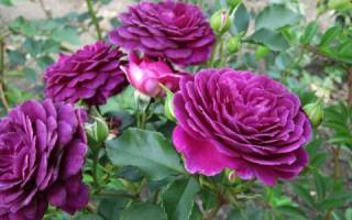 Роза байде ду