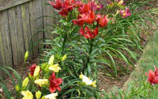 Лилии в саду фото