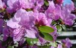 Лечебные свойства рододендрона ледебура
