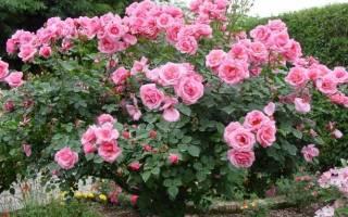 Розы в саду фото с названиями