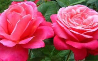 Популярные сорта чайно гибридных роз с описанием