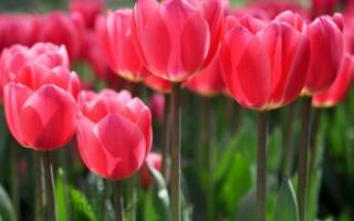 Сколько лепестков у тюльпана