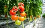 Самые вкусные томаты для теплицы