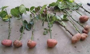 Проращивание роз в картофеле