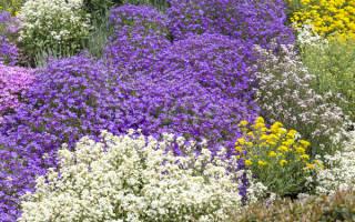 Ползучие цветы для дачи фото с названиями