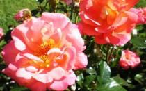 Роза шанти фото и описание