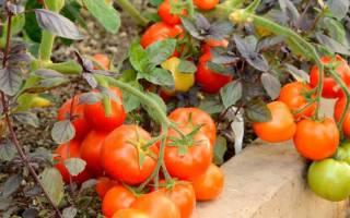 Какие ранние сорта томатов для теплиц выбрать