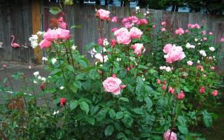 Роза чайно гибридная, грандифлора