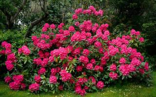 Rhododendron nova zembla рододендрон нова зембла