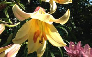 Какие лилии лучше сажать в подмосковье