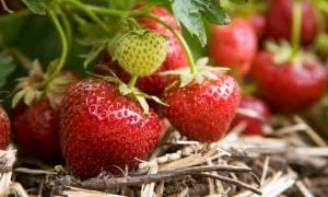Чем грозит клубнике недостаток или избыток удобрений
