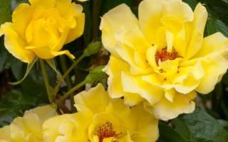 Роза голден ковер