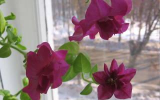 Петуния зимой как комнатное растение