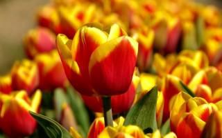 Как правильно посадить тюльпаны осенью