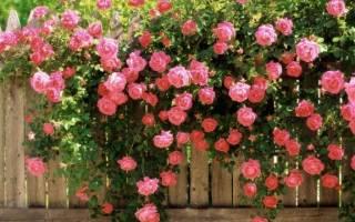 Разновидности видов роз