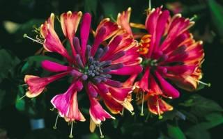 Виды жимолости распространенные в садоводстве