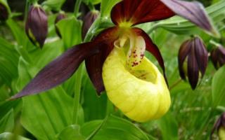 Цветы башмачки фото