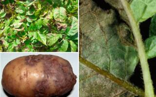 Чем опасен фитофтороз картофеля