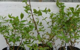 Как посадить жимолость осенью