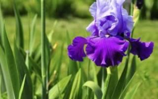 Ирисы уход после цветения