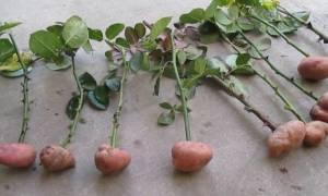 Посадка черенка розы в картофелину