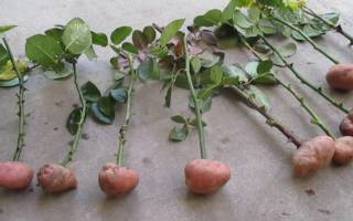 Роза из букета выращивание в картофеле