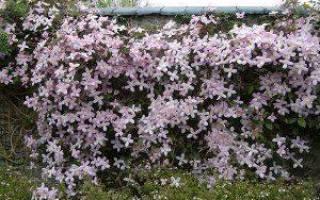 Клематис горный розовый