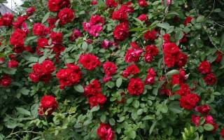 Сорта плетистых роз постоянного цветения