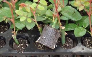 Розы корнесобственные выращивание и уход