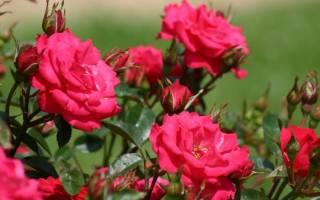 Чем отличается осенний уход за розами