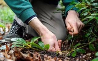 Какие растения размножаются отводками