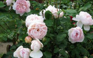 Хранение роз с открытой корневой системой