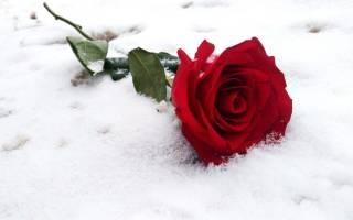При каком морозе погибают розы